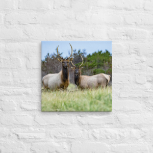 OREGON ELK/2 - 16X16 Canvas Wrap Print